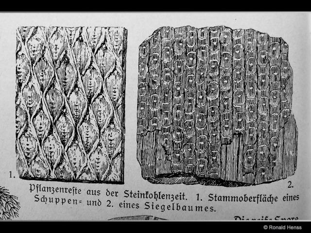 Fossilien Schuppenbaum Siegelbaum